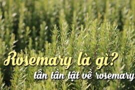 rosemary-la-gi